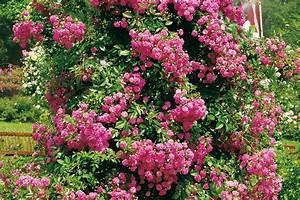 Kletterpflanzen Mehrjährig Winterhart : bl hende kletterpflanzen ansprechende highlights ~ Michelbontemps.com Haus und Dekorationen