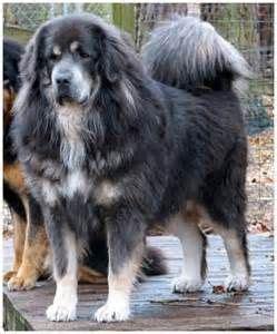 blue tibetan mastiff bing images large dog breeds