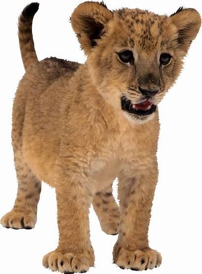 Lion Transparent Tubes Lions Cub Lioness Pngimg