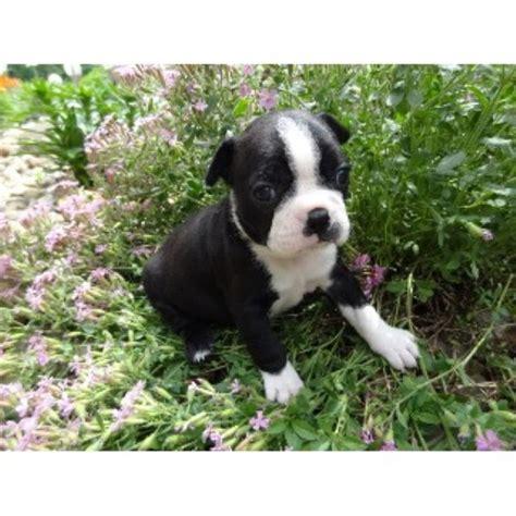 Jennys Boston Babiesprecious Pugs S