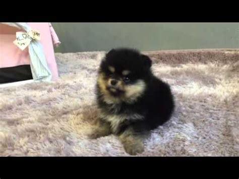 black  tan pomeranian puppy youtube