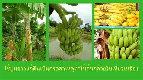 ใช้ปูนขาวแก้เชื้อราในต้นกล้วย สาเหตุใบเหี่ยวเหลือง