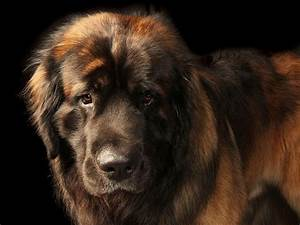 LEONBERGER DOG | Giant dog breeds, Giant dogs and Dog breeds