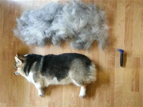 brushed out my quot fluffy quot corgi s coat today her undercoat