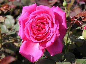 Mainzer Fastnacht Rose : edelrose 39 duftrausch 39 rosa 39 duftrausch 39 baumschule horstmann ~ Orissabook.com Haus und Dekorationen