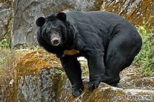 Himalayan Bears | Shunya