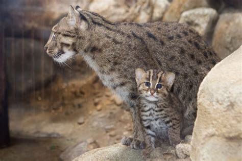 A Fishing Cat Was Just Born At The Denver Zoo And Miso