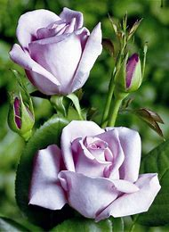 Lavender Purple Rose Flowers