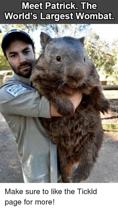 Wombat Memes - 25 best memes about wombat wombat memes