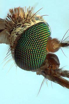 mosquitostegomyia aegypti  aedes aegypti