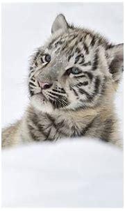 White Tiger HD Wallpaper | Background Image | 1920x1200