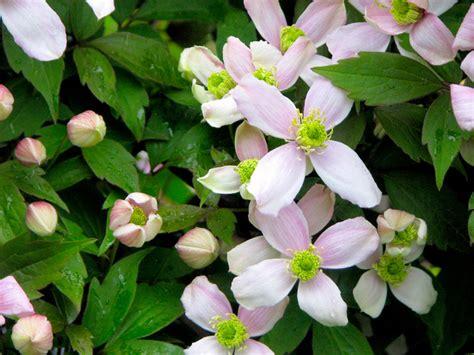 cuisine bio clématites à petites fleurs