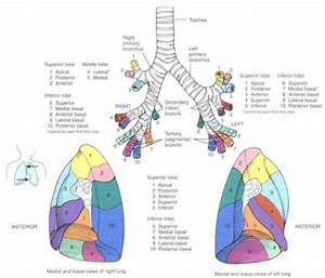 Development of Bronchi and Lungs - Embryology of the ...