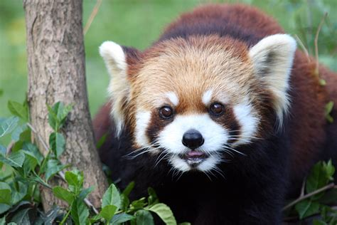 Red Panda Cincinnati Zoo And Botanical Garden
