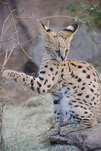60 best Serval cats images on Pinterest | Big cats, Kitty ...