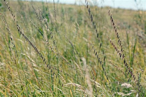 minnesota seasons sideoats grama