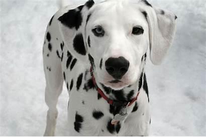 Dalmatian Dog Pets Puppy Puppies Hound Zvirata