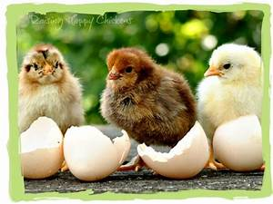 Hatching chicks : your questions answered.
