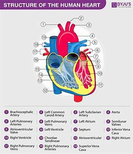 Heart Diagram With Labels And Detailed Explanation