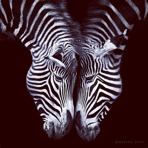 ZEBRA Pictures, Photos, and Images for Facebook, Tumblr
