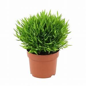 Pot Pour Plante : bambou d 39 int rieur plante 12cm pot autres marques jardinerie truffaut ~ Teatrodelosmanantiales.com Idées de Décoration