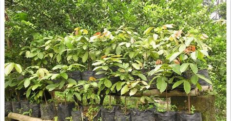 bibit pohon matoa jual tanaman hias