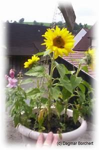 Sonnenblume Im Topf : mein kleiner schoener garten sonnenblumen ~ Orissabook.com Haus und Dekorationen