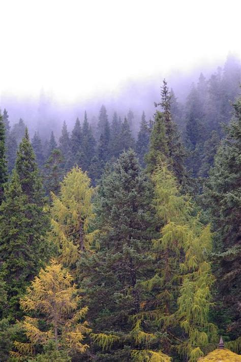 stock photo  forest  pine trees   mist
