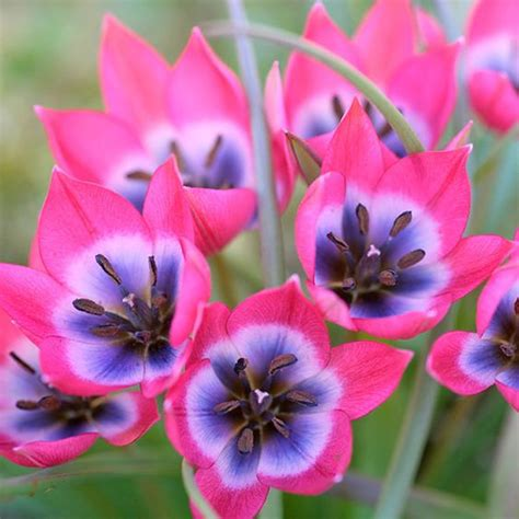 buy species tulip bulbs tulipa delivery by crocus co uk flowery gardens