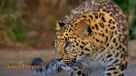 Picture Of Endangered Animals With Names Amur Leopard