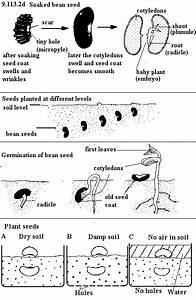 Kidney Bean Seed Diagram