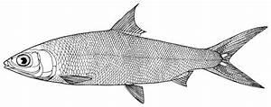 Fish black and white cartoon fish clipart black and white ...