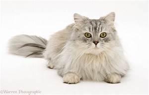 Chinchilla Persian cat photo WP38495