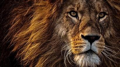 Lion Animals King Eyes Predator Mane 1080p