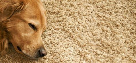 clean dog poop   carpet tips  tricks