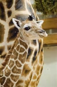 Baby Giraffe Woodland Park Zoo
