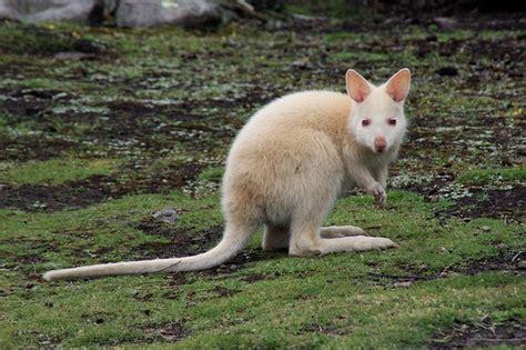 stock photo kangaroo white animal wild