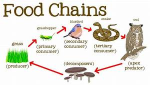 Secondary Consumers Examples Animals | www.pixshark.com ...