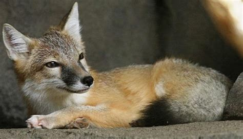 swift fox  cool facts complete informations