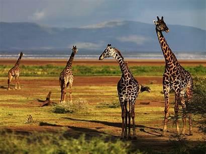 Giraffe Desktop Giraffes Wallpapers Background Theme Backgrounds