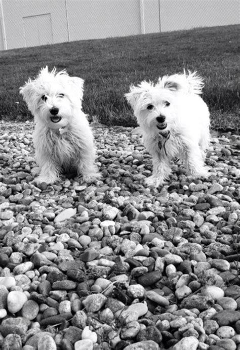 Mauzer Dog Maltese Miniature Schnauzer Info Temperament Training Puppies Pictures
