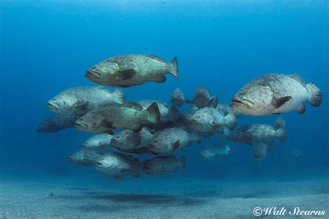 grouper goliath florida usa lose protection stearns walt