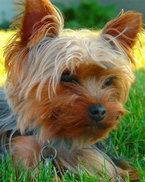 yorkshire terrier haircut ideas  pinterest