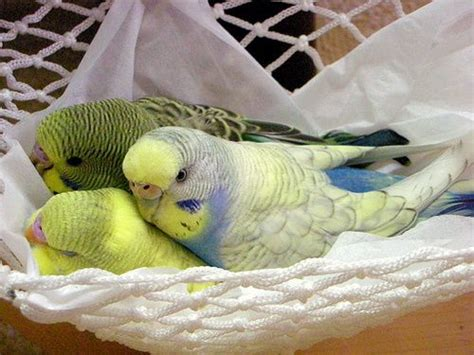 Budgies In A Hammock. My Casey Looks Like The One On The