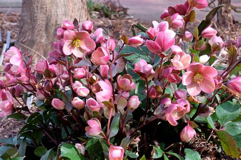 how to plant hellebores hellebores in flower plant delights nursery blog