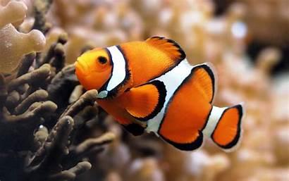Fish Exotic Unique Clown Wallpapers Clownfish Tropical
