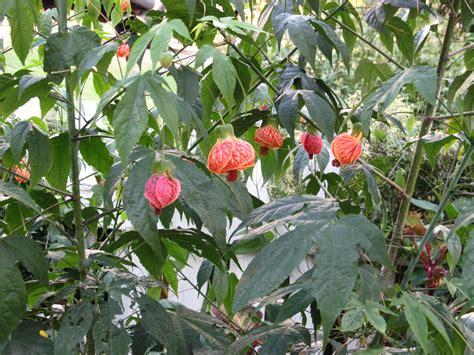 bureau change gare de lyon lantern tree care 28 images hibiscus schizopetalus