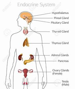 Unlabelled Diagram Of Human Endocrine System