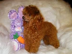 Wadley AL Poodle Breeder & Poodle Puppies | Marilynns ...