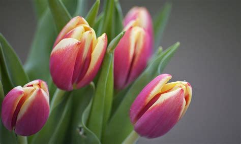 tulips hd wallpapers free 0213 jeblog